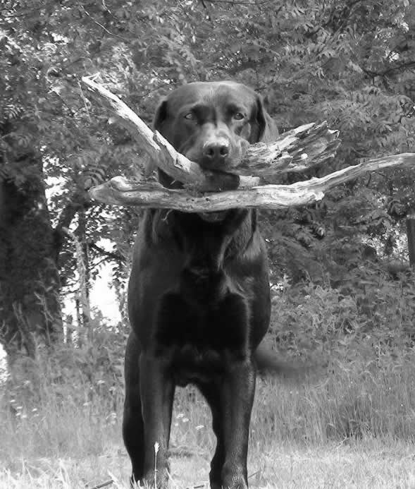 labrador Lewis with sticks in his mouth