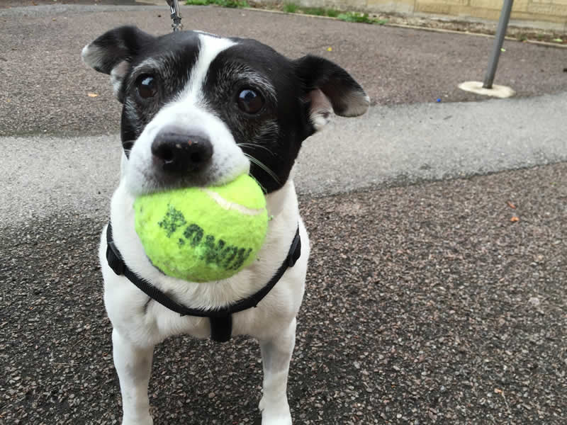 Patient Bobby with ball in mouth at Bicester Vets