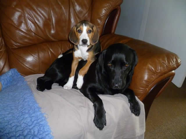 Beagle and Labrador on sofa