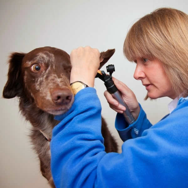 ear exam with vet Bicester Vets
