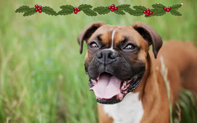 Boxer pup searches soar following John Lewis ad