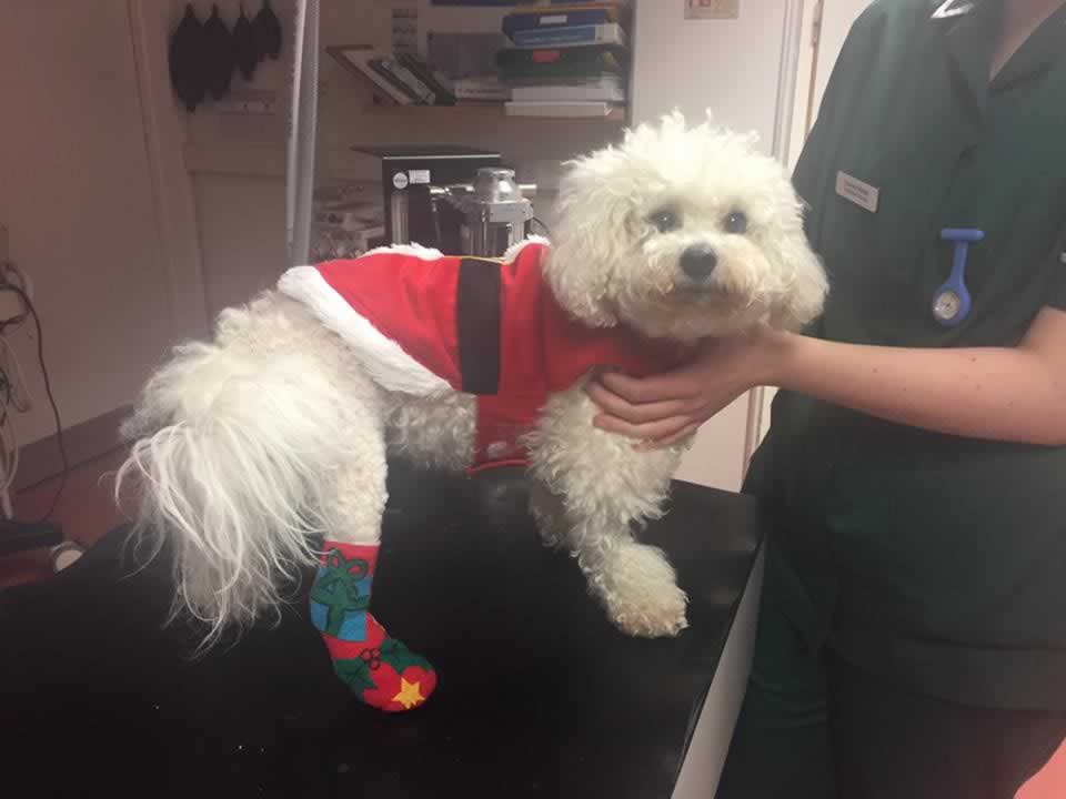 dog at vet in bicester with christmas bandage