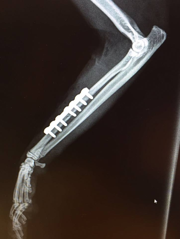 x-ray with plates on cat leg Bicester Vets
