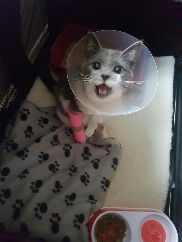 cat Grace in kennel at Bicester Vets