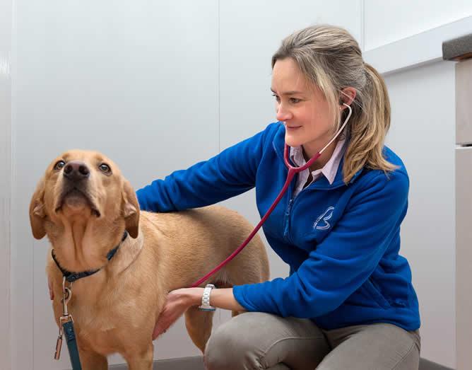 Vet Elaine examining a happy Labrador at Bicester vets