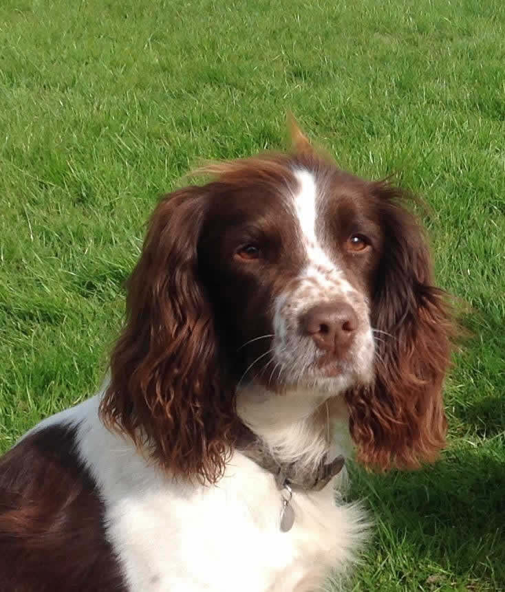 Spaniel Rosa at Bicester Vets
