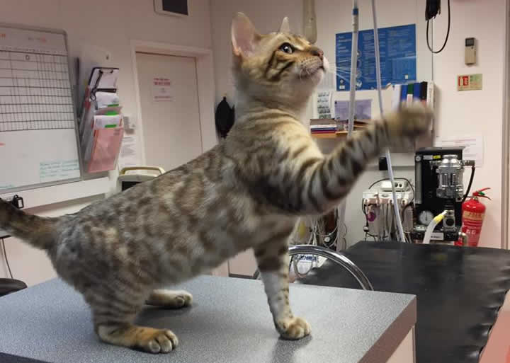 Snow Seal Mink Bengal kitten at Bicester Vets