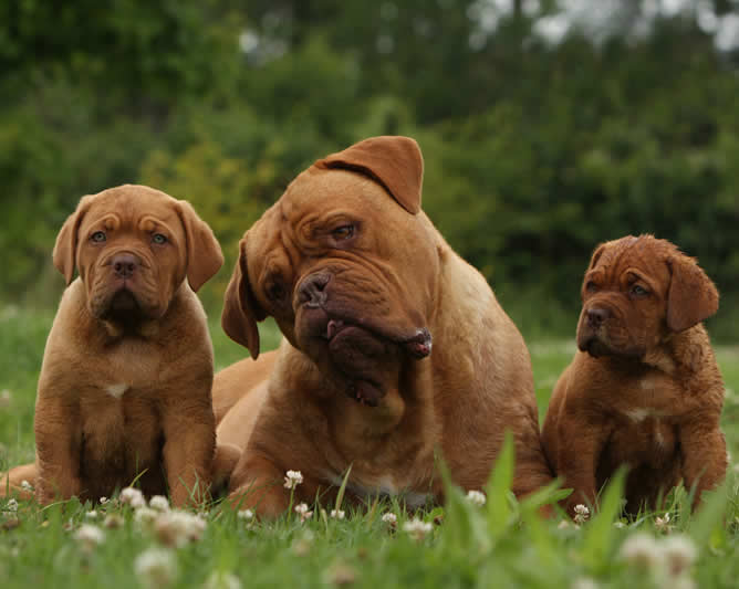 mastiff dog and 2 puppies