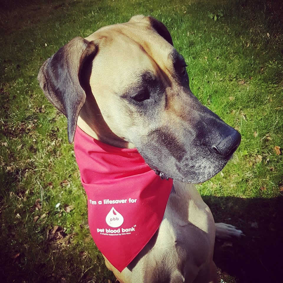 Great Dane blood donor at Bicester vets