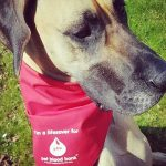 great dane with blood donor red bandana at Bicester vets