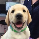 gorgeous labrador puppy at Bicester vets