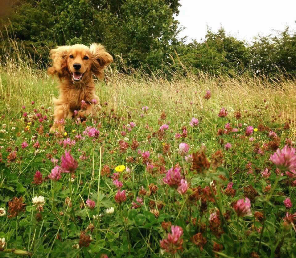 Spaniel Bailey in flowers treated at Bicester vets