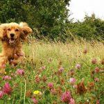 spaniel in flowers