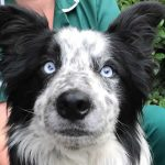 Working Collie Gary at Bicester vets
