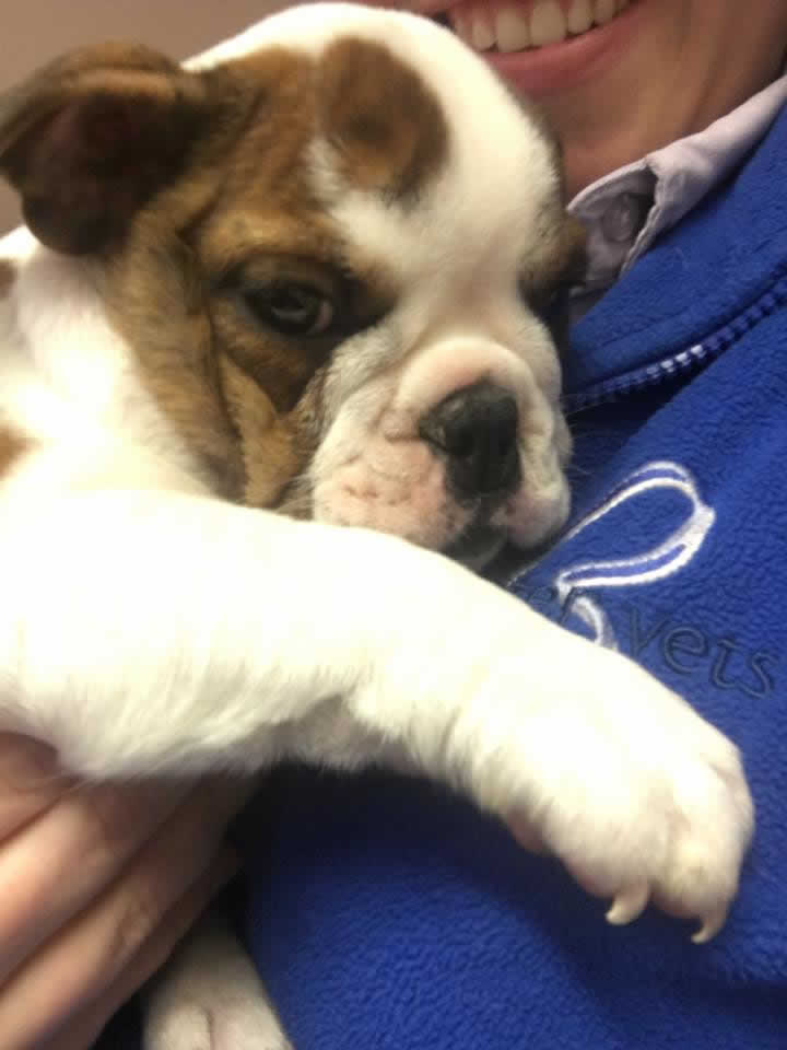 Bulldog pup at Bicester vets