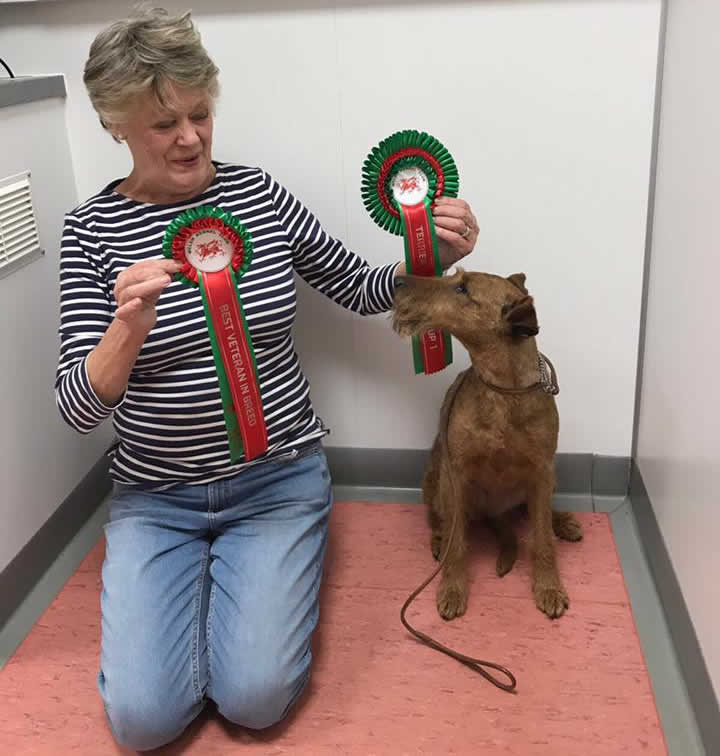 Irish terrier Ellie at Bicester vets