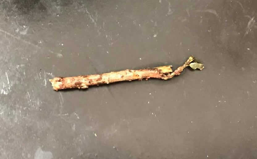 Stick removed from dog's mouth at Bicester Vets