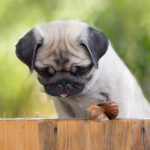 pug looking at a snail Bicester