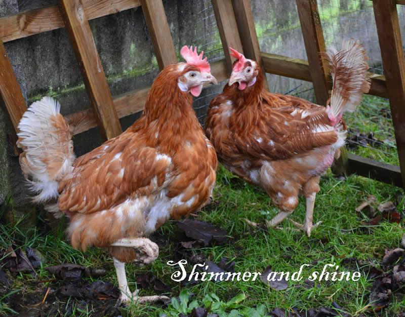 chicken bicester vets