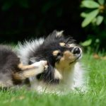 scratching sheltie