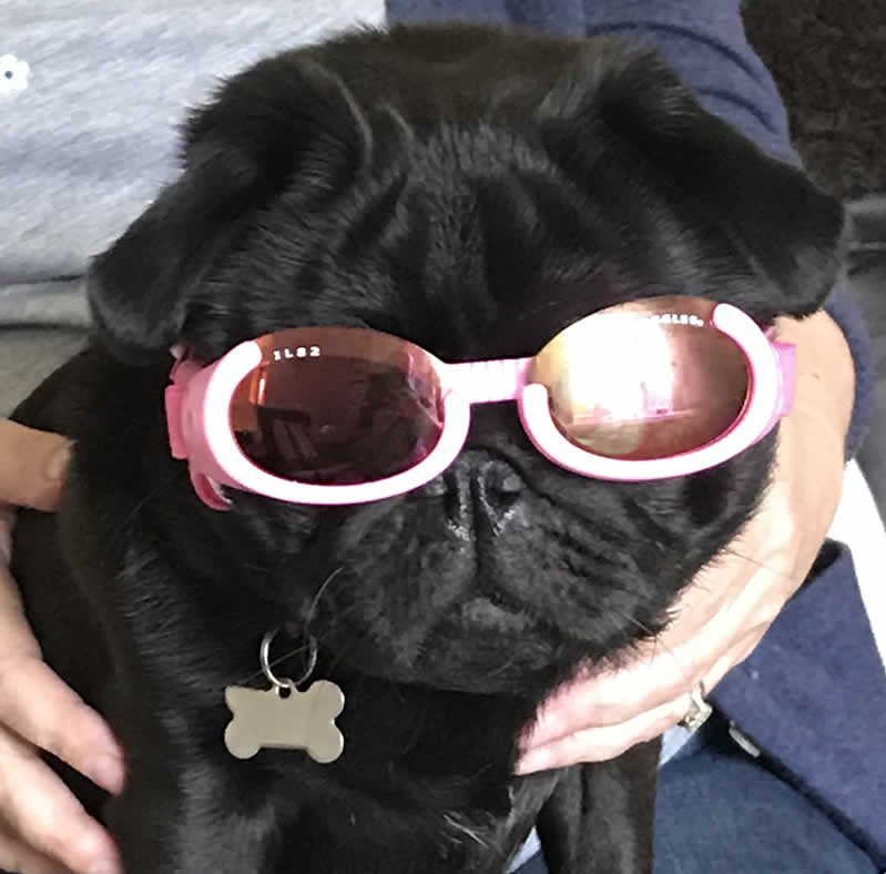 Dolly wearing her Doggles for the first time