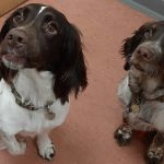 2 spaniels at Bicester vets