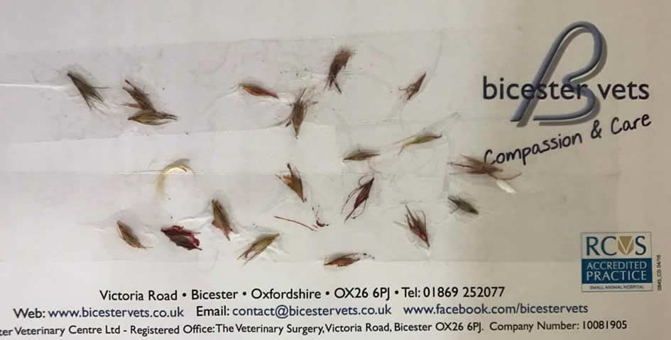dog at bicester vets with grass seeds